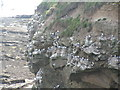 NU2231 : Kittiwakes nesting on a cliff, North Sunderland point by N Chadwick