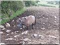 SW6933 : Small shetland pony near Porkerris by Sheila Russell
