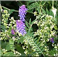 SW8949 : Tufted Vetch - Vicia cracca by Tony Atkin