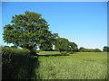 SJ5850 : Young barley, near Blackhurst Farm by Espresso Addict