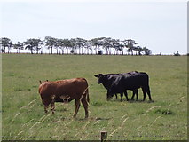 NS5424 : Cattle by Angela Mudge