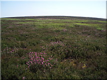 NT6260 : Blooming Heather! by Adam Ward