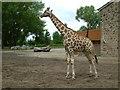 SJ4170 : Chester Zoo, Giraffe by Neil Kennedy