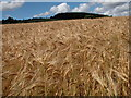 SO4222 : Field of barley and woodland at High Meadow by Philip Halling