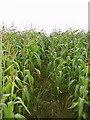 ST5862 : Footpath through the maize by Sharon Loxton