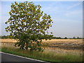 TL2947 : Young sycamore beside Lower Road, Croydon, Cambs by Rodney Burton