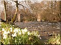 SJ2422 : Snowdrops by the River Tanat at Llanyblodwel by John Davey