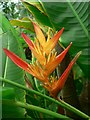 SX0455 : Bird of Paradise Flower (?), Humid Tropics Biome, Eden Project by Rich Tea