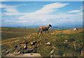 SE0332 : Posing sheep, Nab Moor by Stephen Craven