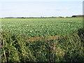 TL0995 : Open Farmland near Sibson Aerodrome by Mike Bardill