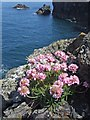 SW6951 : Sea Thrift at St Agnes Head by Philip White