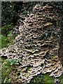 SO5208 : Fungi growing on a tree at The Argoed by Philip Halling