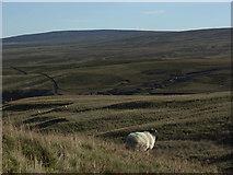 NY8138 : Sheep's eye view of Burnhope Moor by Andrew Smith