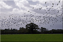 SJ6055 : Gulls Rising near Wardle by Peter Styles