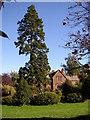 NY6228 : Giant tree next to the green, Newbiggin by Humphrey Bolton