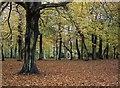 SJ3787 : Autumn beech trees, Sefton Park by Tom Pennington