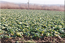 TQ7272 : cabbages by Linda Craven