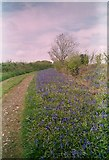 ST6703 : Bluebells on the Dorset Downs above Minterne Parva by Peter Beaven