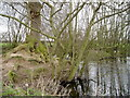 SJ7080 : Tree and island near Mere Cheshire by R Greenhalgh