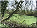 SJ9403 : Pond covered with Duckweed, near Westcroft, Staffordshire by Roger  Kidd