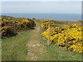 SS1912 : Coast path and gorse above Lower Sharpnose Point by David Hawgood