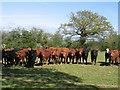 SJ4355 : Cheshire Heifers and Public Footpath to Highfield Farm by John S Turner