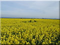 TL2845 : Rape field from Fleck's Lane by Jeff Tomlinson