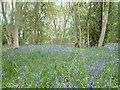 TL2080 : Bluebells in Monks Wood by Chris Gardiner