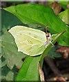 SU0017 : Brimstone (Gonepteryx rhamni) by Simon Barnes