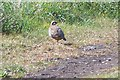 TL0134 : Red legged Partridge by Dennis simpson