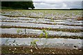 SX3473 : Maize growing through plastic by Tony Atkin