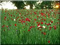 SK5244 : Wayside Poppies by Lynne Kirton
