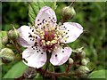 SE3209 : Bramble Flower by John Fielding