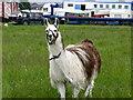SD7711 : Llama in Walshaw by liz dawson