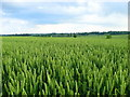 SP6940 : Field of wheat by Lisa Jarvis