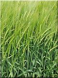 SP9746 : Barley at Meadow Farm by David Hawgood