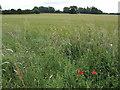 TL2969 : Barley field by Jonathan Billinger