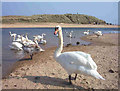 NK1247 : Swans at the mouth of the River Ugie by Jim Davidson