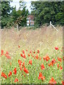 TQ0852 : Poppies in Season, West Horsley by Colin Smith