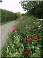 TA2533 : Trackside Wild Poppies by Andy Beecroft