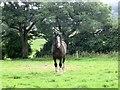 SJ8765 : Horse by David C Brown