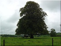 R3021 : Horses Sheltering Under Big Lime Tree, County Limerick by Raymond Norris