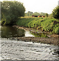 SE4203 : Cows grazing on River Dearne bank. by Steve  Fareham