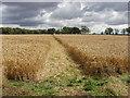 SP9561 : Footpath through wheat to Hinwick Lodge Farm by David Hawgood