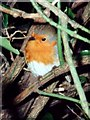 TL4459 : Robin among thorns (Erithacus rubecula) by Tiger