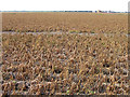 TL3392 : Fields of potatoes with desiccated haulms by Rodney Burton