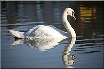 ST9661 : Swan at Lower Foxhanger's by Doug Lee