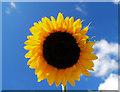 SE4104 : Sunflower by Steve  Fareham