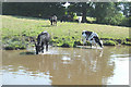 SJ8560 : Time for a Pint! Cattle by the Macclesfield Canal, Cheshire by Roger  Kidd