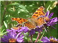 SO7542 : Comma Butterfly at Picton Garden by Trevor Rickard